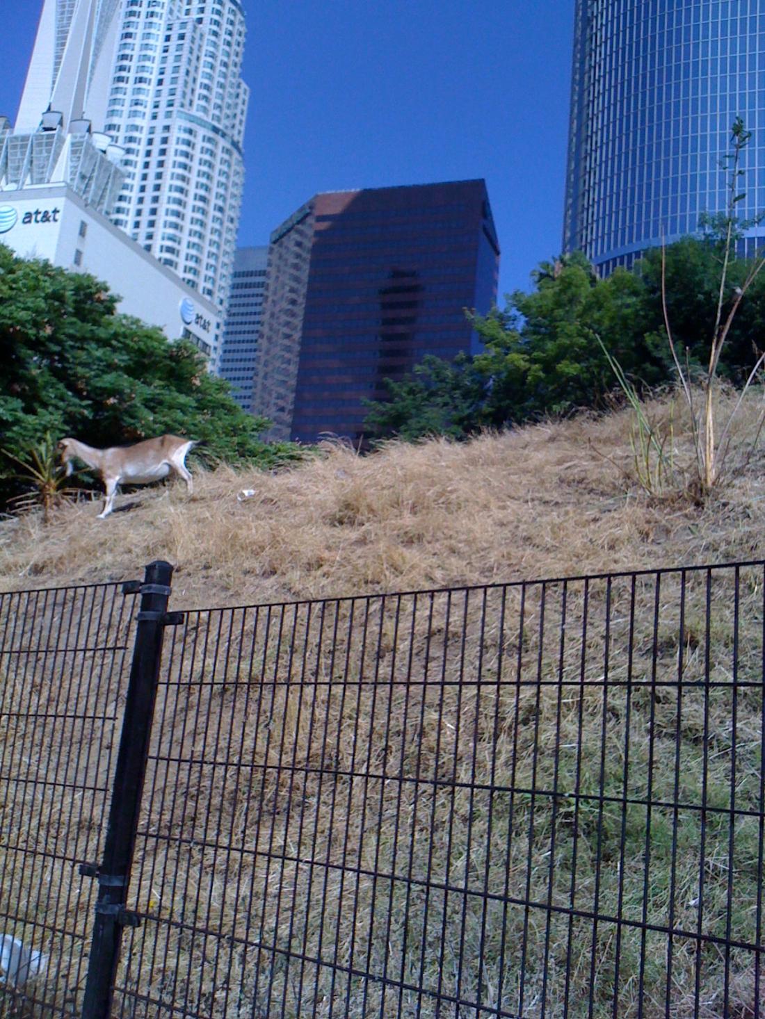 Goat in Downtown LA